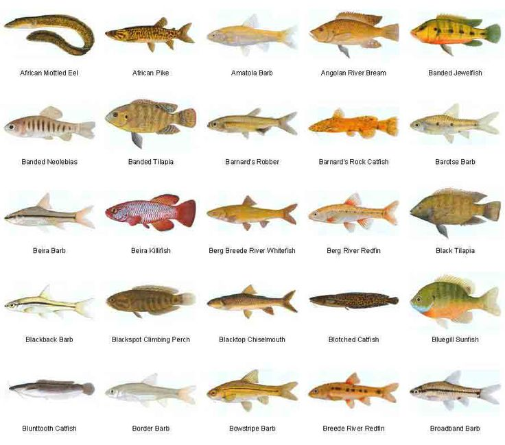 List Of Freshwater Fish Beginning With B | Animals Name A To Z