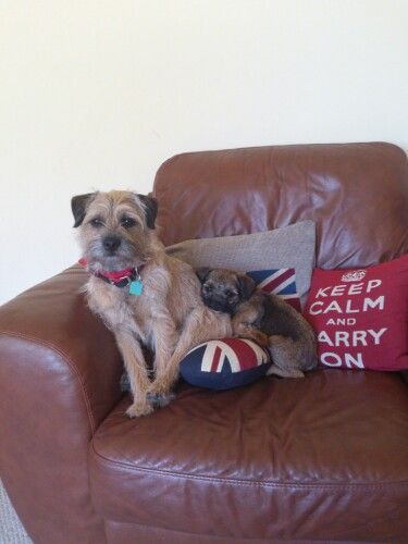My gorgeous Border Terriers .....always best in a pair x<3x
