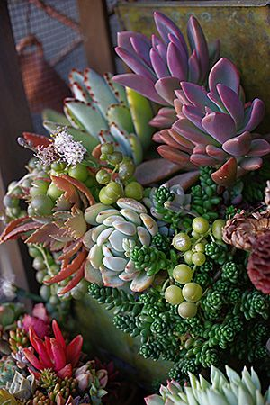 Colorful succulents // Great Gardens Ideas //