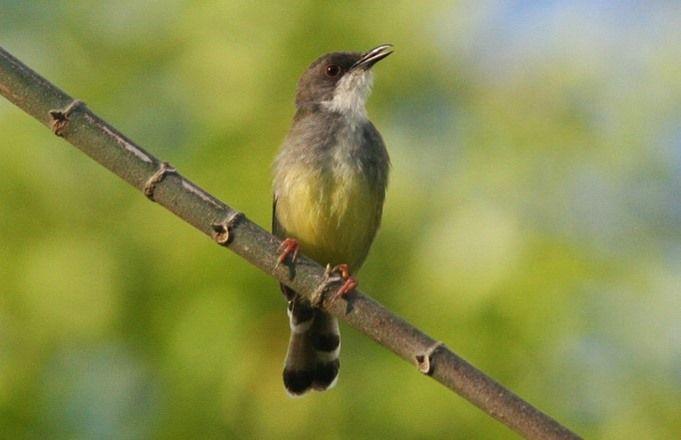 Pin On Masteran Burung