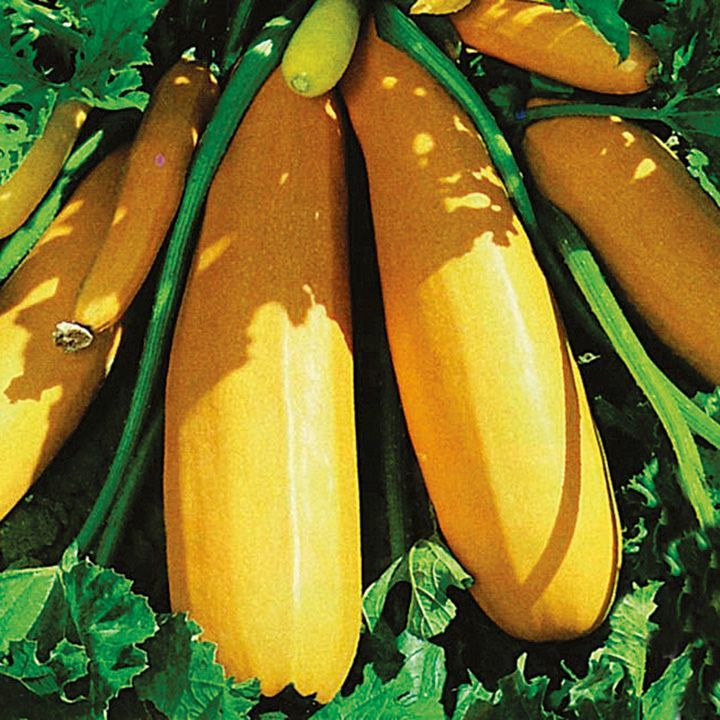 Courgette F1 Atena Seeds - Suttons Seeds and Plants