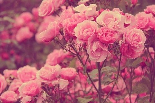 Tumblr Backgrounds Quotes Google Search: Rose Background Tumblr - Google Search