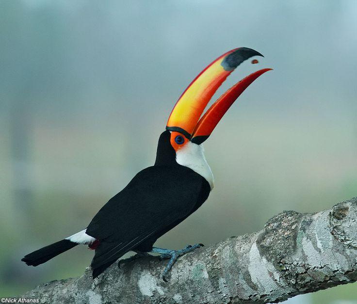 Toco Toucan - Ramphastos toco.  Ramphastos toco albogularis Santa Teresa (Pantanal lodge), Mato Grosso state, Brazil.