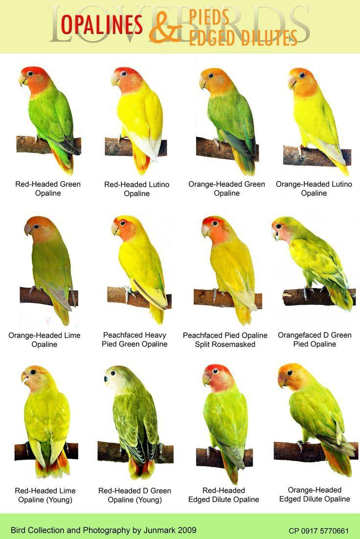 44 Best Images About Birds Cocatiels Budgies Love Birds
