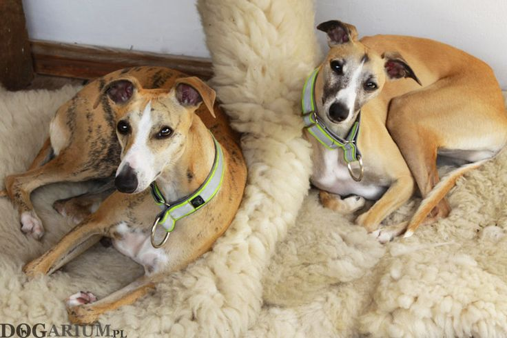 Whippets - Rubi and Lana