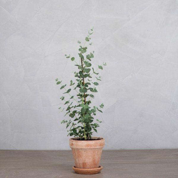 Eucalyptus_0033