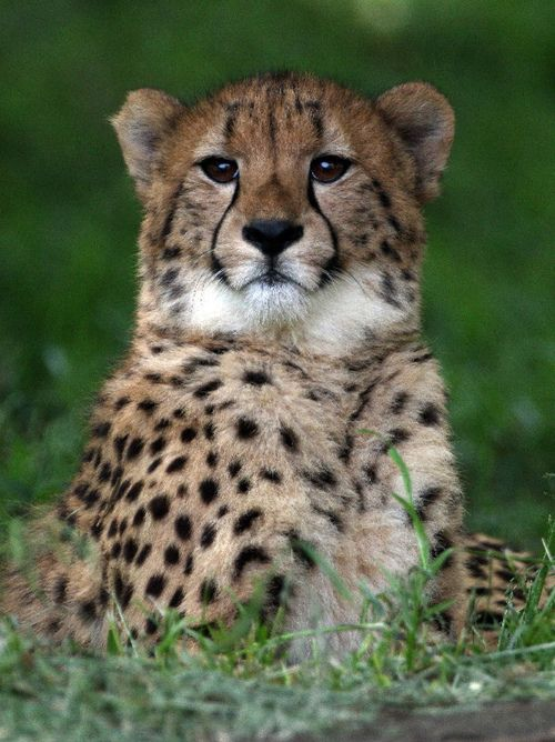Cheetah 2D6I0538 (by Steve Tracy Photography)