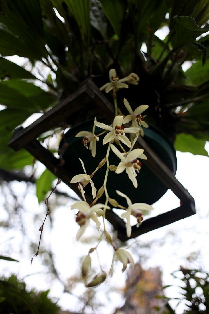 Garden Visit: A Hanging Orchid Garden in San Isidro, Buenos Aires - Gardenista. This orchid looks similar to the Miltonia Flavescens, said to be native to Peru and found in Argentina, Brazil, and Paraguay.