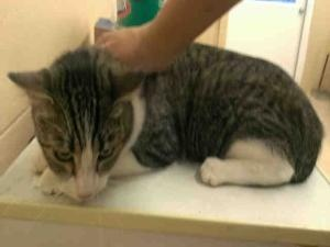 A927774 'AVENGER' URGENT KERN SHELTER is an adoptable Tabby - Brown Cat in Bakersfield, CA. **WE NEED VOLUNTEERS TO POST & REMOVE PETS ON PETFINDER. IF YOU CAN COMMIT TO THE CAUSE OF HELPING SAVE SHEL...