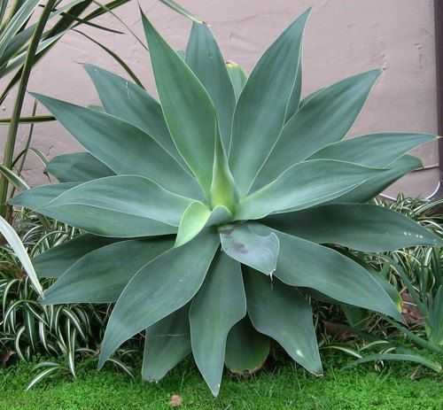 Fox Tail Agave, Agave attenuata, 15 seeds, soft blue-green leaves, windowsill or patio plant, bizarre blooms, drought tolerant