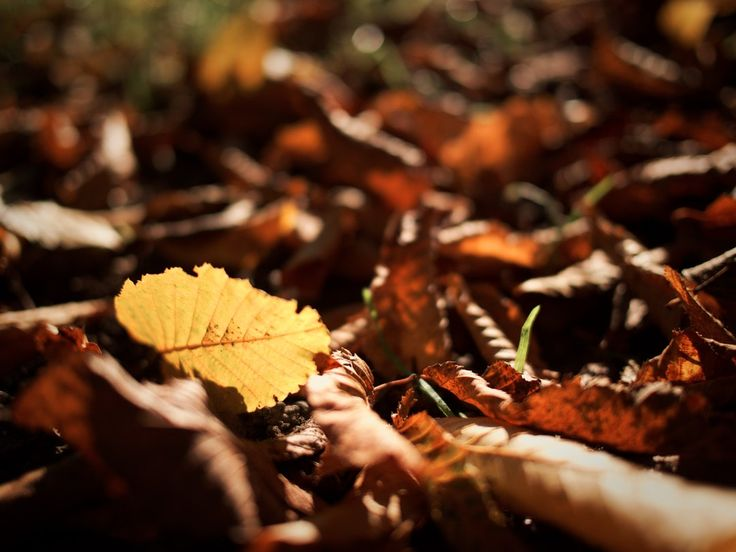A low macro shot of yellow and brown autumn leaves - #Bible #Autumn #PukkaHerbs #Tea Leaf, Time, Autumn leaf color, Brown  - Photo by Sérgio Rola @sergio_rola (unsplash)  - Follow #extremegentleman for more pics like this!