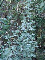 Healing properties of wormwood. Click on the picture ///  Lecznicze właściwości piołunu. Kliknij w zdjęcie
