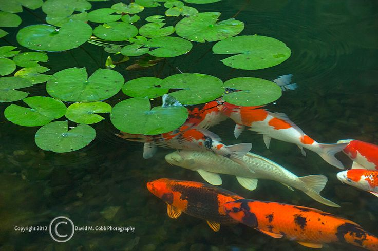17 best images about summer in the garden on pinterest for Portland japanese garden koi