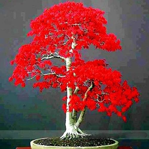 100-True-Japanese-Red-Maple-Bonsai-Tree-Cheap-Seeds-New