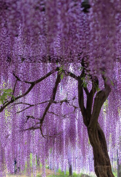 LifeisVeryBeautiful Wisteria, Hyogo, Japan via GANREF 紫簾