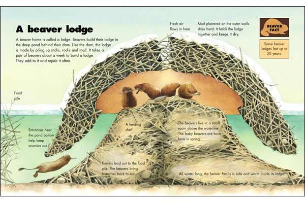 the makings of a beaver lodge...impressive