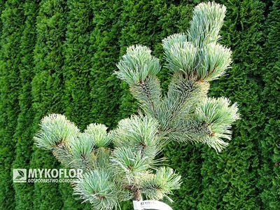 Pinus parviflora Shizukagoten