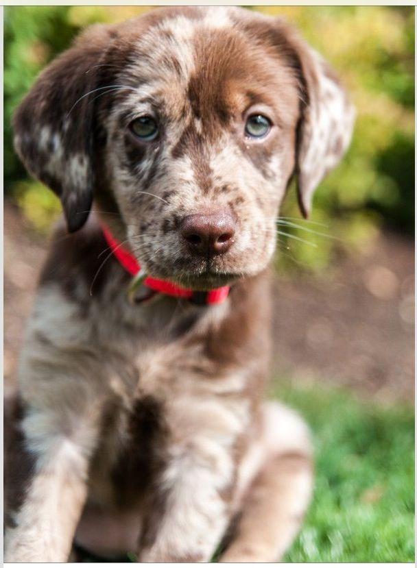 German short haired puppy