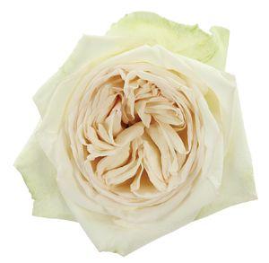 White Garden Rose 80 best flowers: white, ivory, and cream images on pinterest