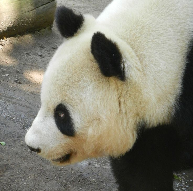 Panda bear, San Diego Zoo © Hélène VANLATHEM Oso panda