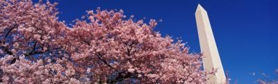 How to Care for a Yoshino Cherry Tree