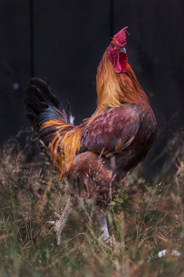 3100 Best I Love All Things Chicken Images On Pinterest