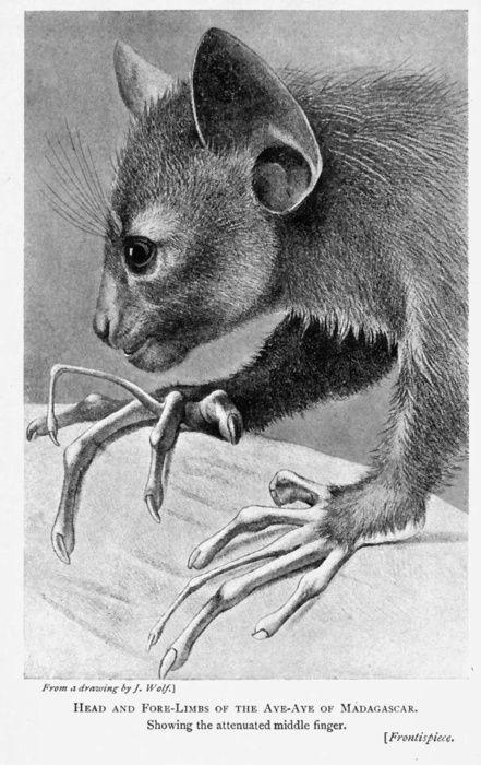 aye aye (daubentonia madagascariensis) by richard lydekker, 1903.