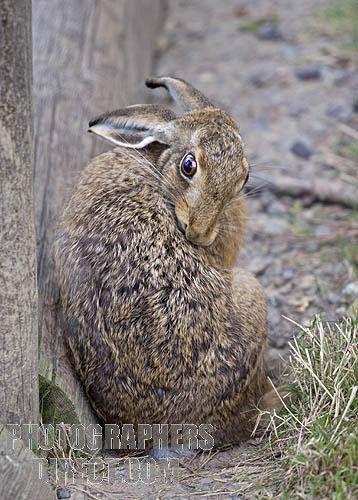 195. European Rabbit hare   European Hare ( lepus europaeus ) grooming stock photo