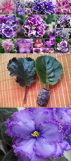 Выращивание фиалок в домашних условиях