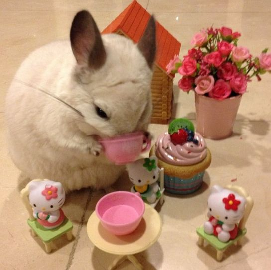 Or a cup of hot tea.   This Is The Most Important Chinchilla On Instagram Right Now