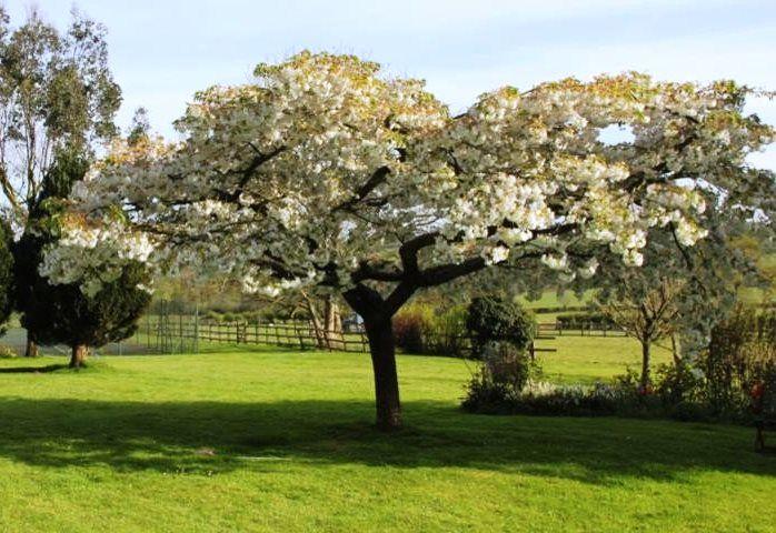 Cherry Great White Flowering Cherry Tree Japanese Cherry Tree Ornamental Trees