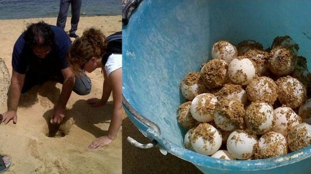 """Ġnejna Bay: FIRST RECORDED NESTING OF TURTLE IN DECADES    """"... the first confirmed sea turtle nesting event in Malta after a century, although other unconfirmed records of such events have been reported from other beaches in the last 50 years.""""    """"Ġnejna and Golden Bay used to be popular for nesting by turtles in the past, but Vince Attard, executive president of Nature Trust said the last recorded nesting was in 1960 in Golden Bay. In that case the female was killed and the eggs were…"""