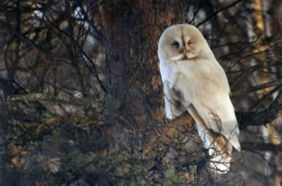 .Finland Albino, Eagles Owls, Grey Owls, Gray Owls, Birds Mixed, Pretty Owls, Hoot, Beautiful Things, Beautiful Owls