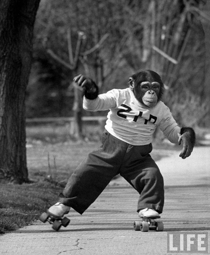 """Zippy apareció en docenas de programas de televisión en la década de 1950. Este chimpancé vestía, vivía y viajaba como una persona e interactuó con numerosos presentadores de televisión, celebridades y gente de la calle. Zippy fue """"descubierto"""" por Bob Smith, """"Buffalo Bob"""", creador del personaje de la famosa serie """"Howdy Doody Show"""", mientras estaba de vacaciones, en Nueva Orleans, cuando Zippy le robó una cereza de su bebida. A partir de su aparición en la serie, Zippy se hizo famoso y fue…"""