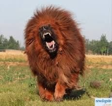tibetan mastiff attack - Google Search