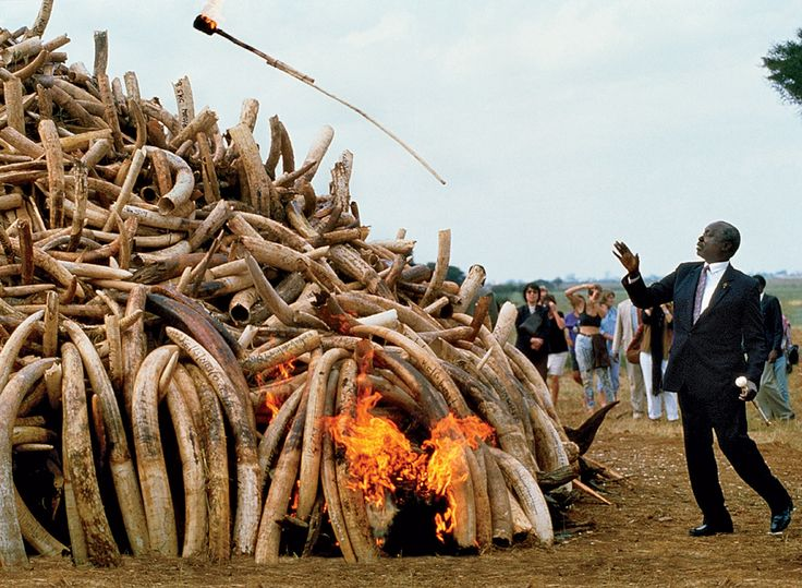Then Kenyan president Daniel arap Moi igniting ivory and rhino horns in 1989. By Tom Stoddart/Getty Images.