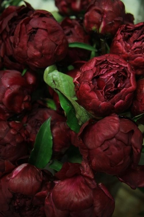Take note boys us ladies don't want red roses this valentines day we want peonies in Marsala red.                                                                                                                                                     More