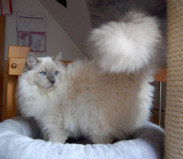 blue point male Ragdoll