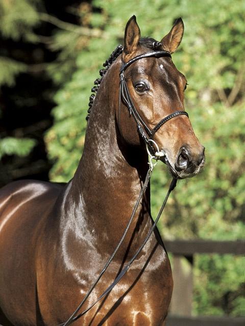 Bay Hanoverian horse: