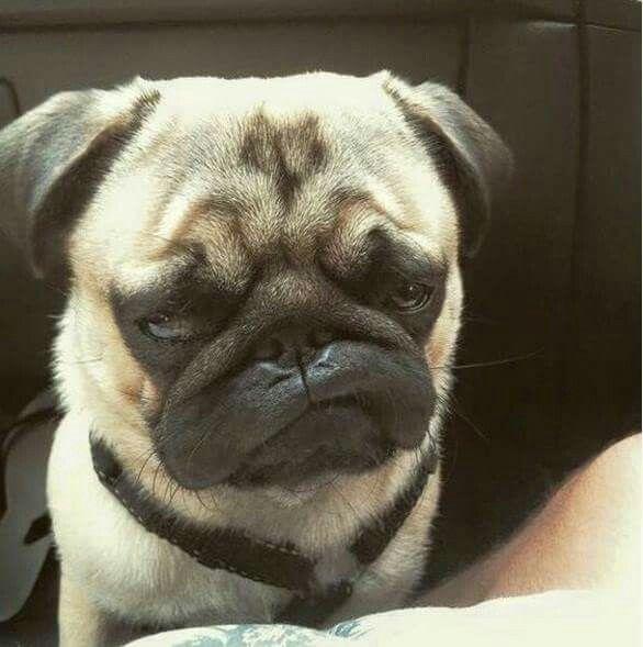 Amazing pug face