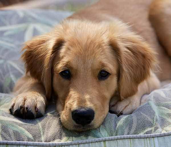 Golden Retriever Dog Breed Information Dog Breeds Dogs Dogs
