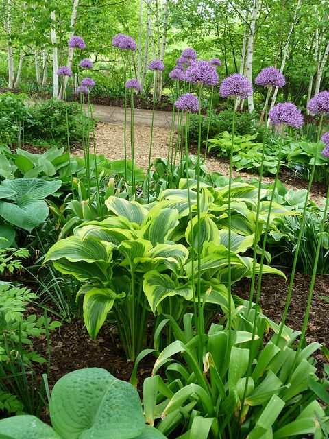 Hostas and Alliums.