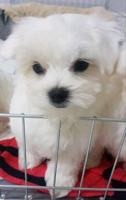 Maltese Puppy For Sale In Nashville Tn Usa Adn 96377 On