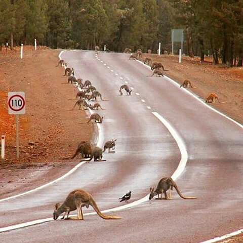 Kangaroos come out to drink water on the road after heavy rain. Central Flinders Ranges. Courtesy of Bookabee Australia