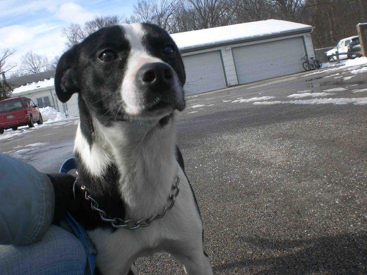 border collie pitbull terrier mix