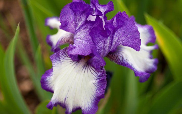 Flor Iris