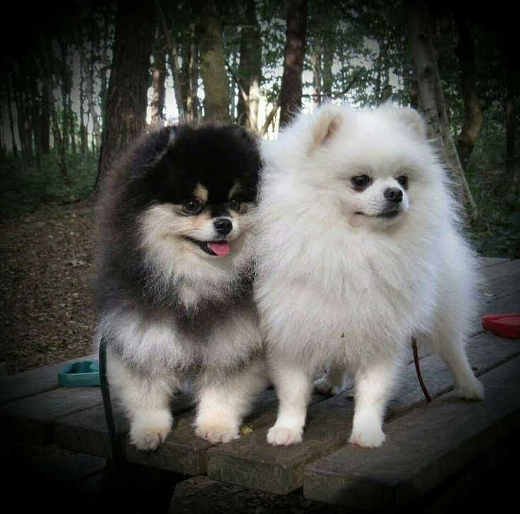 Pomeranians.... - Tap the pin for the most adorable pawtastic fur baby apparel! You'll love the dog clothes and cat clothes! <3