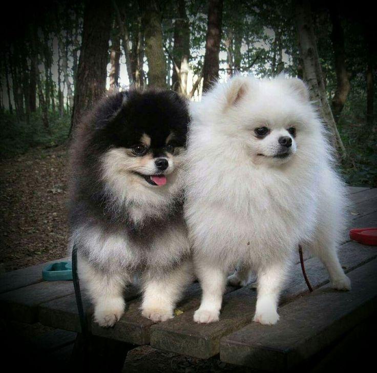 Pomeranians....