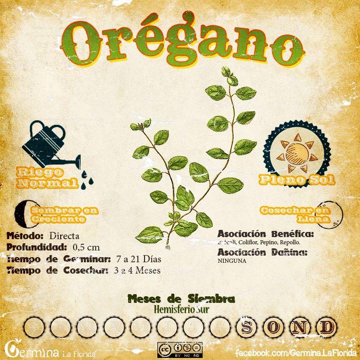 Oregano2.jpg (700×700)