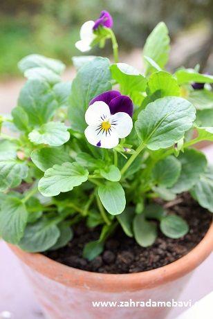 Viola cornuta in pot